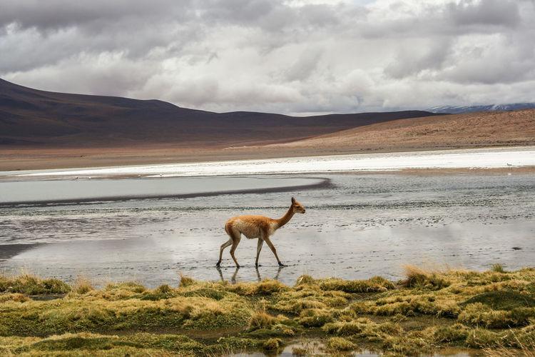 Alpaca walking on shore against sky