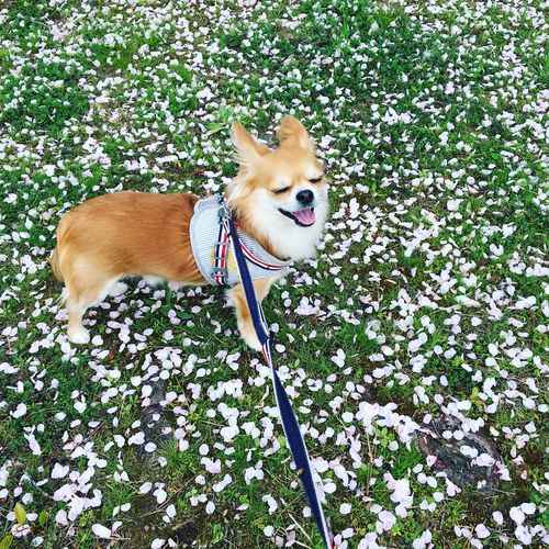 Dog One Animal Pets Domestic Animals Animal Themes Pet Leash Day Mammal Leaf Flower Plant Growth Outdoors No People Portrait Nature Smile Chihuahua Dog Niko Good Morning! Make You Coffee