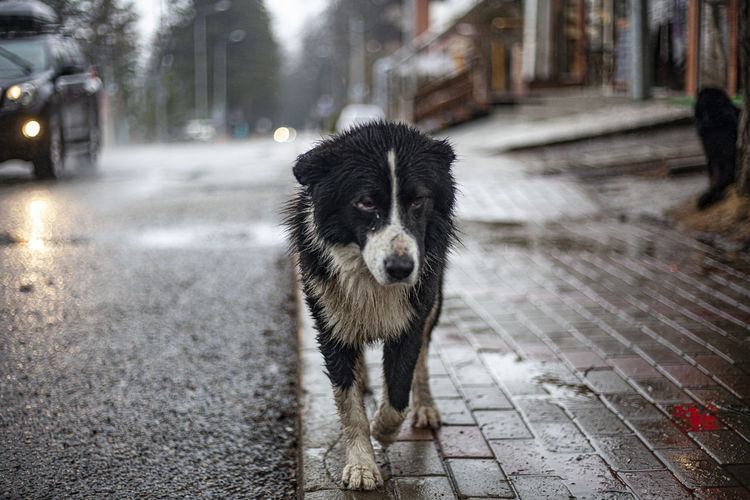 Portrait of dog standing on footpath
