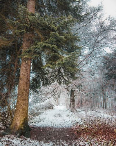 winter forest Tree Winter Snow Nature Cold Temperature Forest Outdoors Landscape WoodLand Beauty In Nature Tranquility No People Pine Tree Scenics Pinaceae Tree Trunk Day Growth