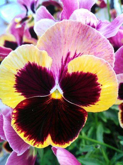 Amor perfeito Flowers Flowers,Plants & Garden Flowerlovers Portugueseword