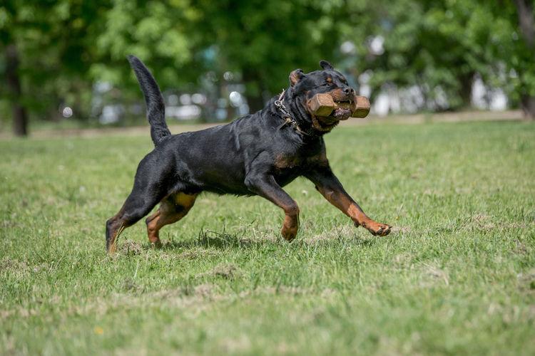 Dog Running On Grass