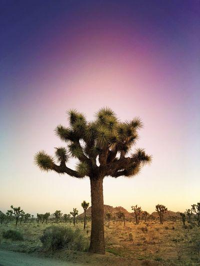 Cismic Joshua Tree Joshua Tree Yucca Tree Palm Tree Single Tree Tranquility Nature Beauty In Nature Tree Trunk