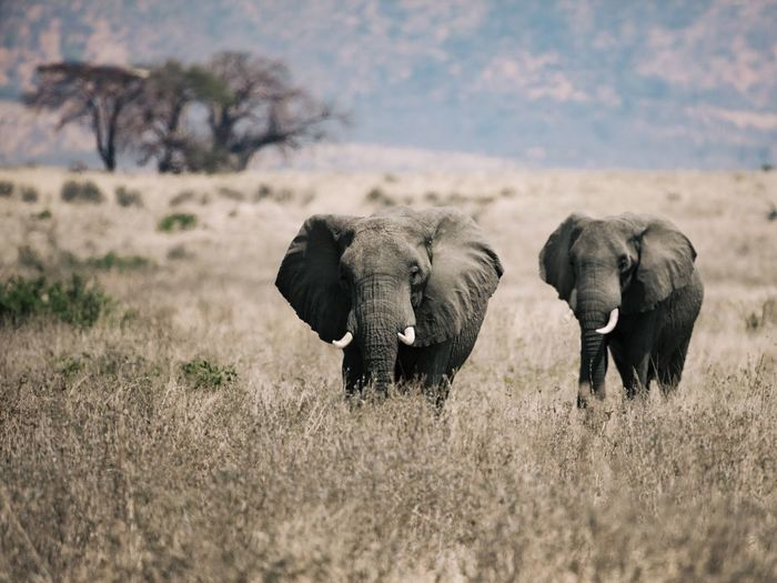 Two Elefants Safari Animals Namibia Animals In The Wild Elephant Animal Wildlife Animal Themes Nature African Elephant Landscape Grass No People Togetherness Sky Beauty In Nature Field Elephant Calf Outdoors Day