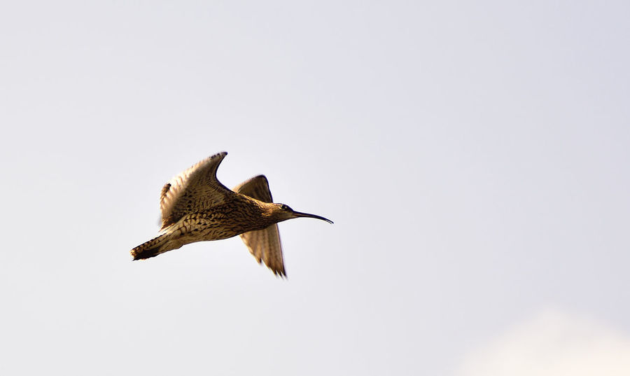 Beauty In Nature Bird Photography Birds Of EyeEm  Birds_collection Curlew Curved Beak Elegant Fight Nature Nature Photography Nature_collection Numenius Arquata Wading Bird