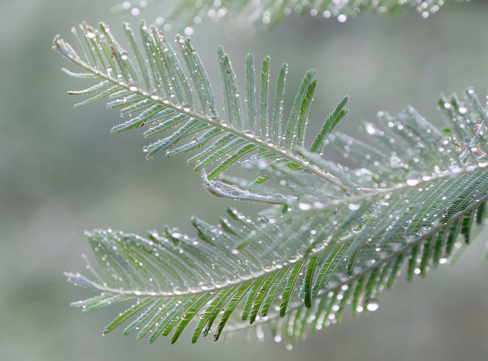 Drop Wet Beauty In Nature Close-up Water Focus On Foreground Plant Green Color Nature Leaf No People Growth Plant Part Freshness Day Selective Focus Dew Outdoors Rain RainDrop Leaves Purity Acacia Victoria Australia Landscape Morning Light Pastel