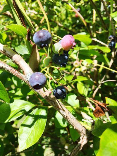 Blueberries Fruit Berries Blueberries Berries Collection