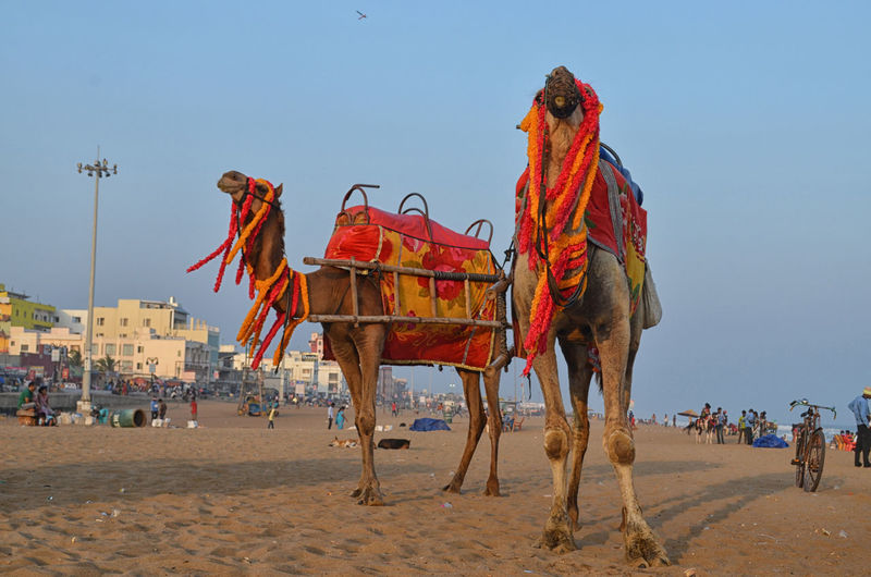 Camel in sea beach Animal Themes Clear Sky Day Domestic Animals Mammal Multi Colored Nature No People Outdoors Sand Shvm8961 Sky