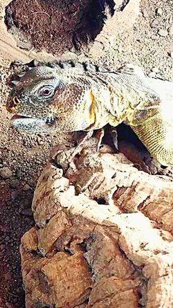 Spiny Tailed Lizard Uromastyx Dab Lizard Lizard Reptile