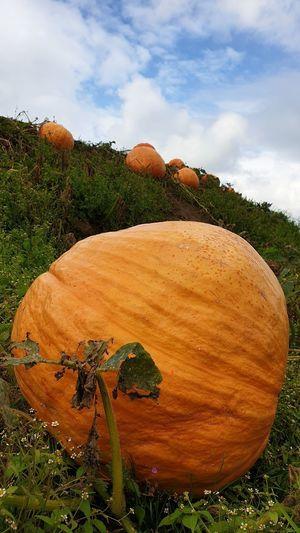 View of pumpkins on field against sky
