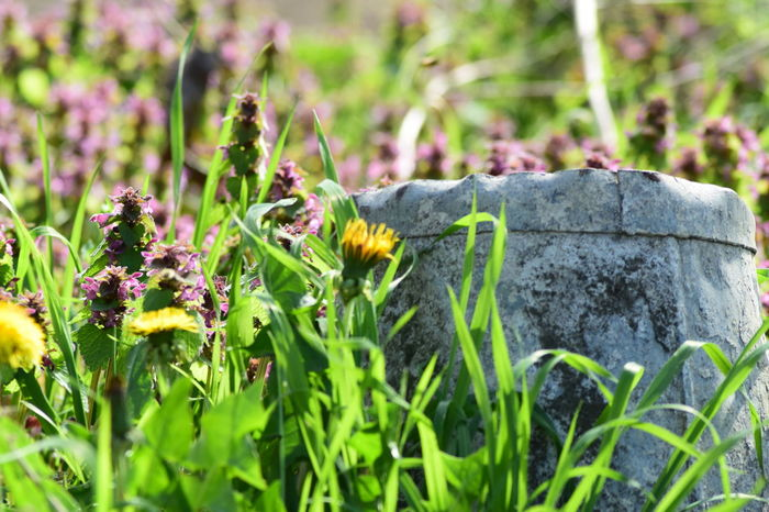 Meadow Flowers Taraxacum Officinale Beauty In Nature Close-up Day Dead Nettle Flower Fragility Freshness Growth Insect Mammal Meadow Life Nature No People Old Bucket One Animal Outdoors Plant Spring Flowers Wildlife