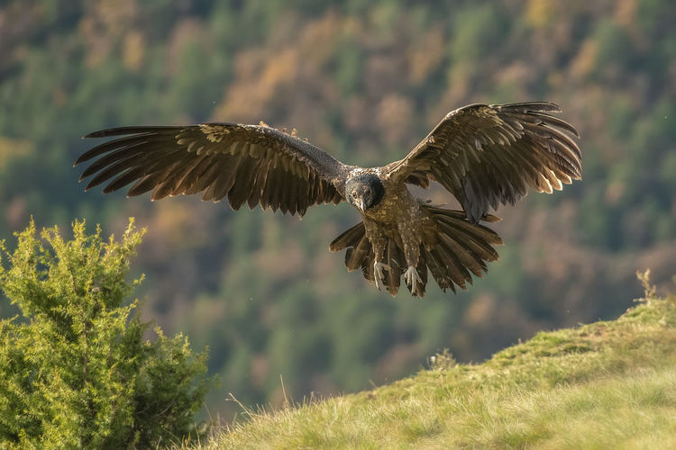 Low angle view of eagle landing on grassy field