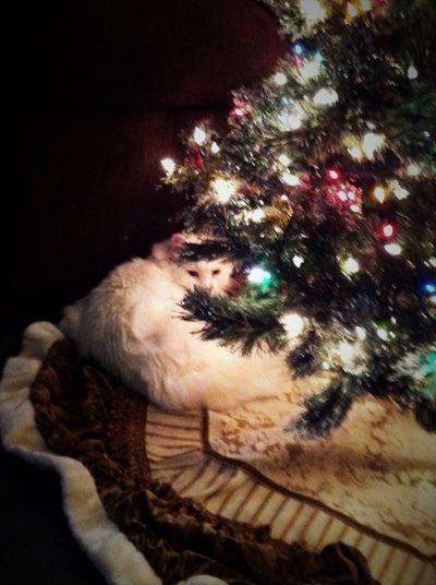 Cats Of EyeEm Christmascats ChristmasTrees Decoration Homeiswheretheheartis Illuminated Pets Thisweekoneyeem