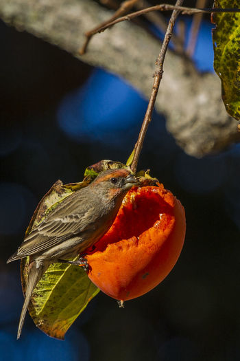 Close-up of bird perching on fruit