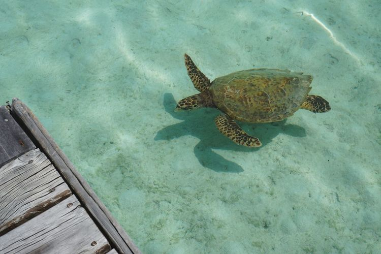 Maldives Turtle Sea Sea Turtle UnderSea One Animal Animal Wildlife Sea Life