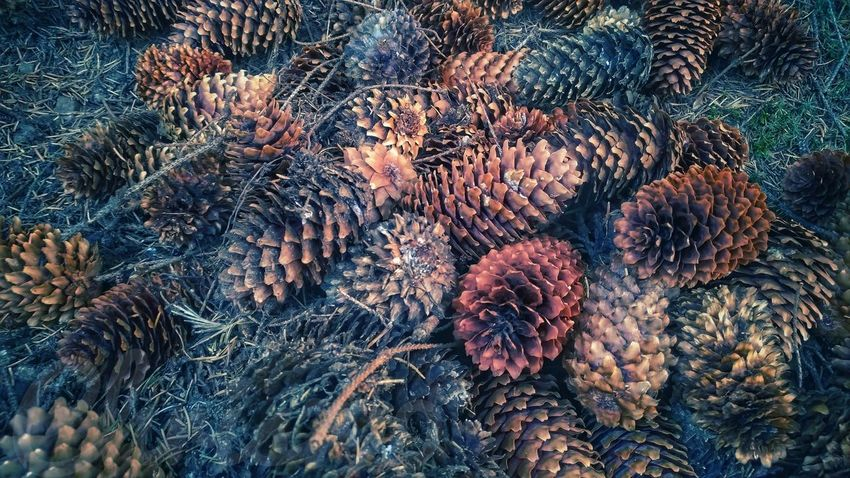 fallen pine cones... Coniferous Tree Conifer  Pine Woodland Forest Light And Shadow Fallen Pine Cone Backgrounds Full Frame Close-up Dried Wilted Needle - Plant Part Fall Wilted Plant Decline