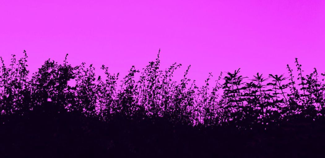 Pink flowering plants against sky during sunset