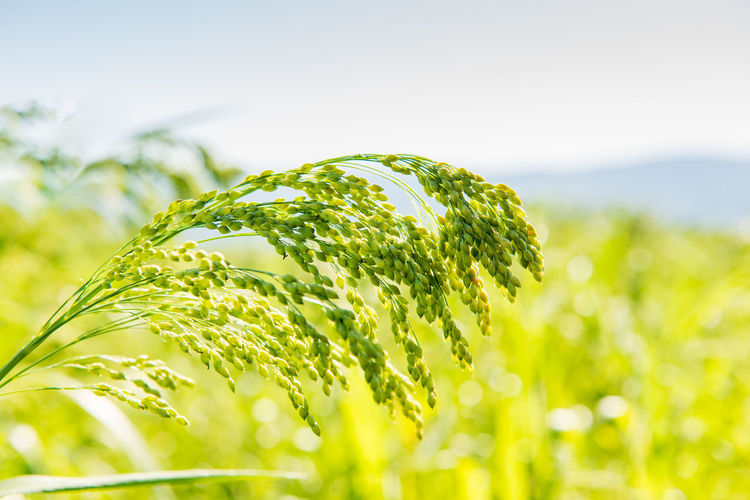 millet plant Panicum miliaceum L. Beauty In Nature Close Up Close-up Day Field Focus On Foreground Freshness Green Color Growth Land Leaf Millet Nature No People Outdoors Plant Plant Part Selective Focus Sky Sunlight Tranquility Vulnerability
