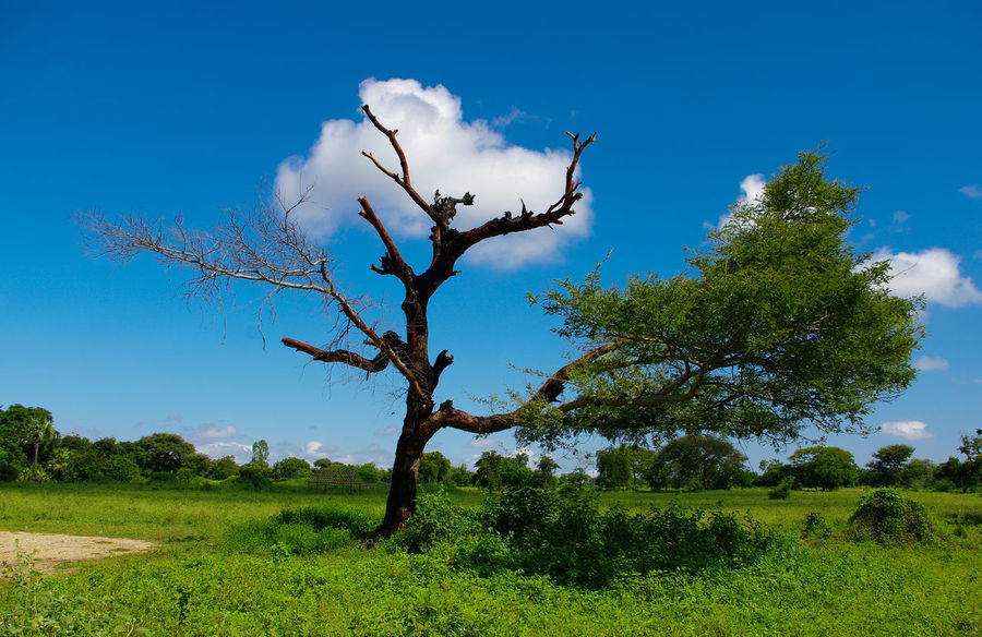 tree and with clouds Asian  Beauty In Nature Blue Sky Blue Sky And Clouds Branch Burma Clear Sky Cloud Farsightedness Green Myanmar Nature Spring Sunset Tranquil Scene Tree Tree Trunk Tropical Climate Winter