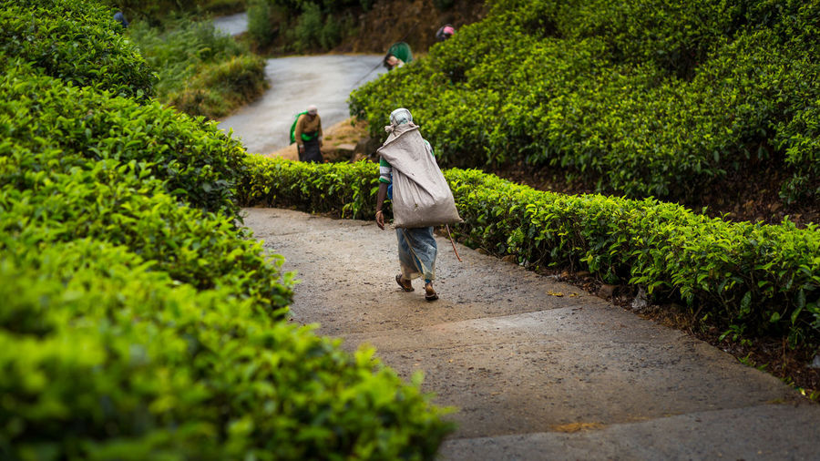 Female worker in a tea plantation in Sri Lanka Agriculture Carry Copy Space Ella Green Color Nature Nature Nuwaraeliya Outdoor Outdoors Plantation Rural Scene Sri Lanka Tea Tea Plantation  Tourism Travel Destinations Women Worker Workers Working Young Women