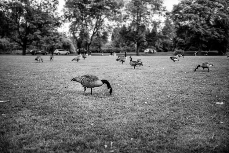 Animal Themes Animal Animal Wildlife Group Of Animals Plant Animals In The Wild Vertebrate Tree Nature Land Day Mammal Bird Grass Field No People Selective Focus Large Group Of Animals Outdoors Grazing Herd