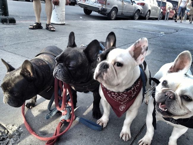 Streetphotography Frenchie Dogs EyeEm Animal Lover