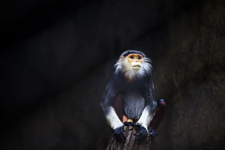 Red-shanked douc (Pygathrix nemaeus) Pygathrix Nemaeus Red-shanked Douc Zoo Animal Animal Themes Animal Wildlife Black Background Branch Cage Focus On Foreground Front View Monkey No People One Animal Outdoors Perching Portrait Primate Vertebrate Wood - Material