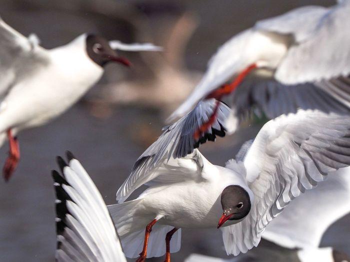 Black-Headed Gulls Flying In Mid-Air