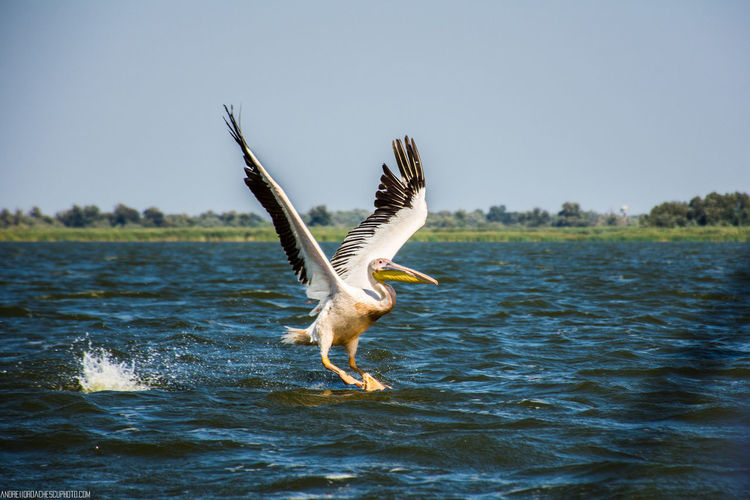 Pelican in the Danube Delta Pelican Danube Delta ,romania EyeEm Selects Animals In The Wild Animal Wildlife Bird Spread Wings Flying Water