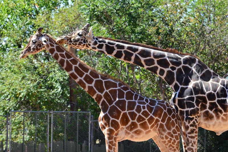 Animal Themes Frisky Giraffe Love Natural Pattern Nature Zoo Zoology