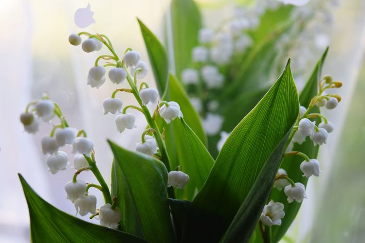 Flower Muguet May Spring Good Luck Charms France