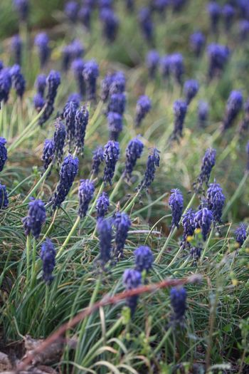 Spring time Grape Hyacinths Flower Growth Plant Purple Flowering Plant Field Beauty In Nature