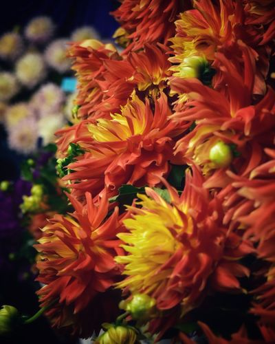 Dahlia Dahlia Flowers Dahlia Flower Background Backgrounds Flowering Plant Flower Vulnerability  Fragility Close-up Plant Flower Head Beauty In Nature Petal Focus On Foreground Inflorescence Freshness Growth Nature No People Day Botany Selective Focus Pollen Vibrant Color