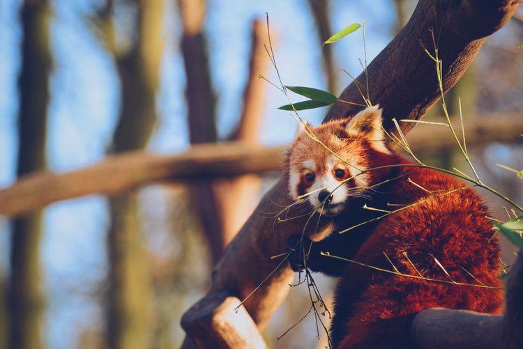 Pandatime! Panda Zoo
