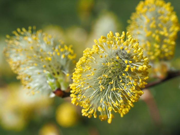 Spring blooms Beauty In Nature Blooming Close-up Day Delicate Flora Freshness Goat-willow Growth Nature No People Outdoors Plant Spring Spring Blooms Yellow