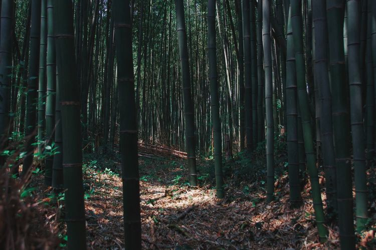 Bamboo trees in forest