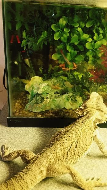 Check This Out Enjoying Life Beardeddragon There Be Dragons Fishtank Lizard Friend