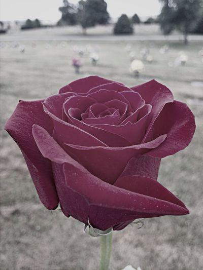Roses Bloom Eternal Peace