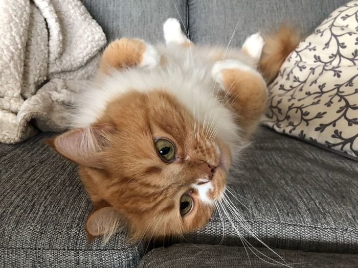 Portrait of cat lying on sofa at home