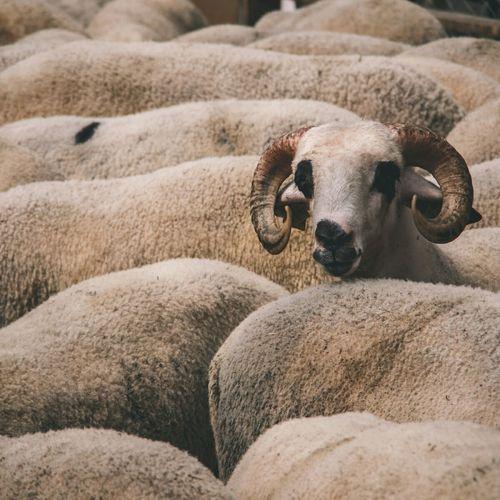 EyeEm Selects Animal Mammal Agriculture Animal Body Part Sheep Animal Wildlife One Animal Livestock Domestic Animals No People Animal Themes