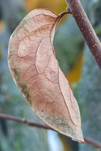 Persimmon leaf Fractal EyeEm Selects Close-up Plant Focus On Foreground Growth Nature Day Outdoors Pattern Beauty In Nature Leaf Vein Leaf
