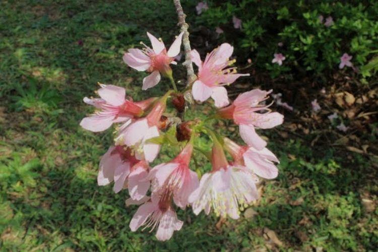 Cerejeiras,