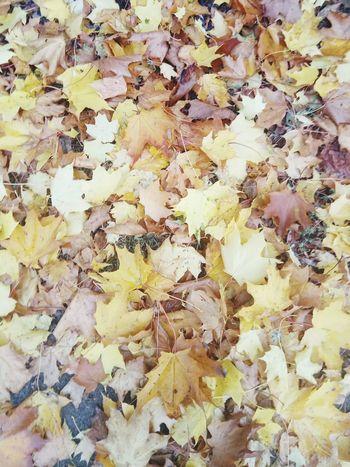 Leaves Goldpolishautumn Backgrounds Full Frame Yellow Close-up