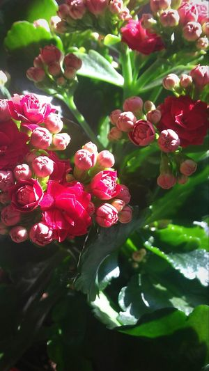 Flower Nature Freshness Plant Beauty In Nature Red Flower Head Small Flower Plant Red Flower Bush Garden Flower In Sun Light Next To The Window On The Table Nice Composition Romantic Color Light On The Flower