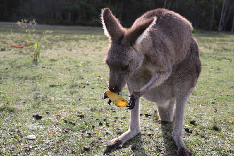 when you want more but it's done. 🐷 #myphoto #kangaroos #fed #notallowedbutstill #ididntfedthem EyeEm Selects Pets Close-up Grass Kangaroo Ear Australian Culture Animal Hair Hairy