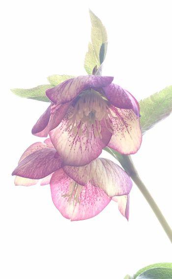 クリスマスローズ Flowerporn EyeEm Flower Plants IPhoneography Flowers Flower Nature