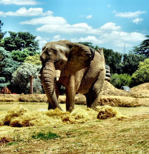 African Elephant Standing On Field Against Trees
