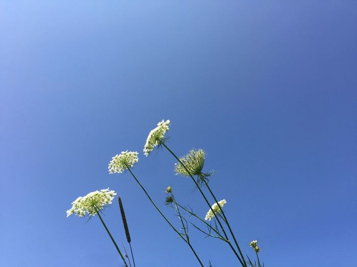 Blue Flower Nature Growth Copy Space Low Angle View Clear Sky Day No People Beauty In Nature Fragility Outdoors Freshness Close-up Sky Wildflower Queen Anne's Lace The Week On EyeEm