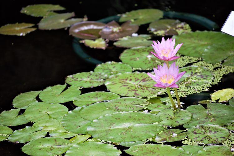 Flower Lotus