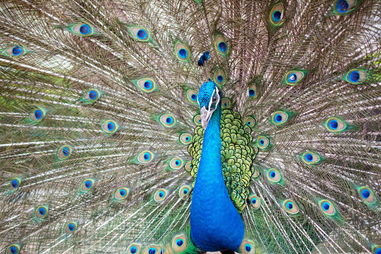 Peacock Bird Animal Animal Themes Peacock Feather Vertebrate One Animal Feather  Fanned Out Animal Wildlife Animals In The Wild Blue Male Animal No People Close-up Animal Body Part Multi Colored Beauty In Nature Day Full Frame Animal Head  Outdoors Animal Neck Peacock Zoo Poultry